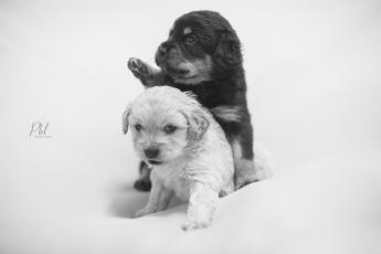 Pkl-fotografia-puppy photography-fotografia mascotas-bolivia-cachorros-15